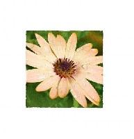 African Daisy Thank You Pack